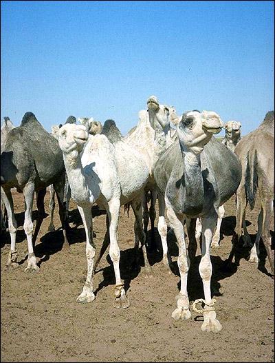 Одногорные верблюды, или бактрианы (Camelus dromedarius). Фото, фотография