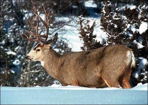 Олень в снегу. Фото, фотография парнокопытные животные