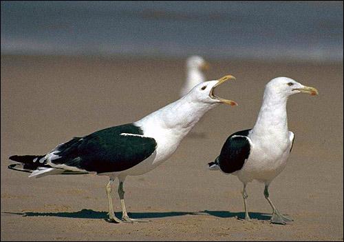 Большая морская чайка (Larus marinus). Фото, фотография птицы картинка