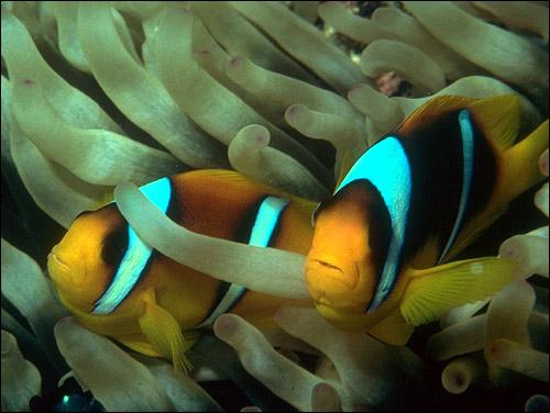 Рыбы-клоуны. Фото, фотография