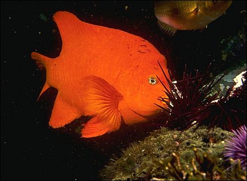 Оранжевая рыба и красные морские ежи. Фото, фотография