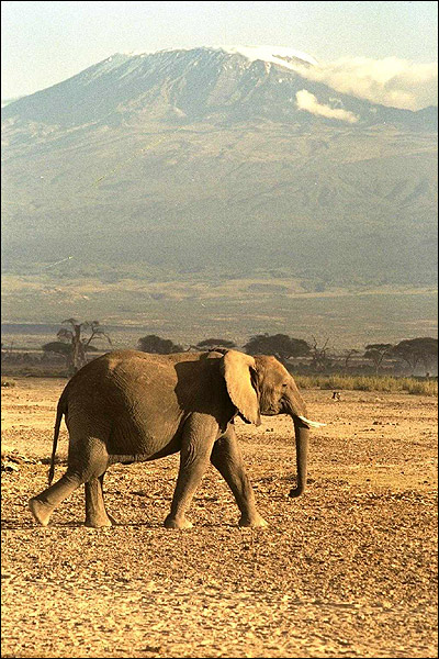 Африканский слон (Loxodonta african). Фото, фотография