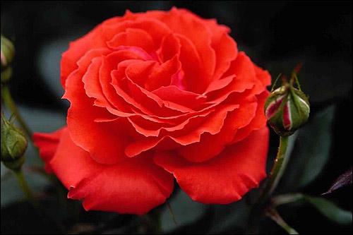 Розовая роза. Фото, фотография