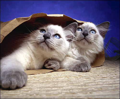 Две голубоглазые кошки лежат в бумажном пакете. Фото, фотография картинка