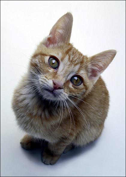 Рыже-белый кот смотрит вверх. Фото, фотография