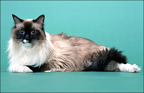 Рэгдолл, породы кошек, фото, фотография картинка животные