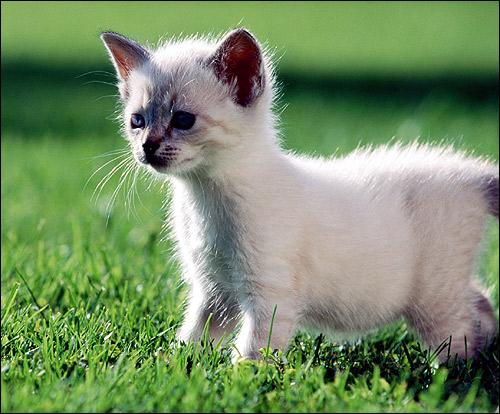 Маленький котенок гуляет по зеленой траве. Фото, фотография картинка кошки