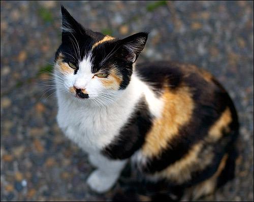 Черепаховая кошка. Фото, фотография картинка животные