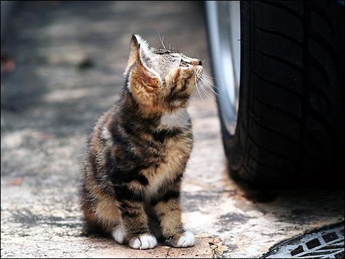 Черепаховый котенок смотрит на колесо машины. Фото, фотография картинка кошки
