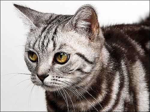 Британская шиншилла. Британская кошка шиншиллового окраса. Фото, фотография кошки
