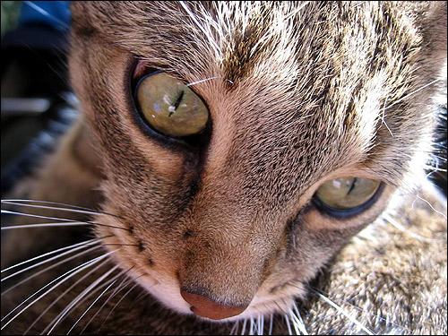 Крупным планом морда кошки дикого окраса. Фото, фотография картинка