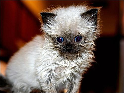 Мокрый котенок. Фото, фотография картинка кошки