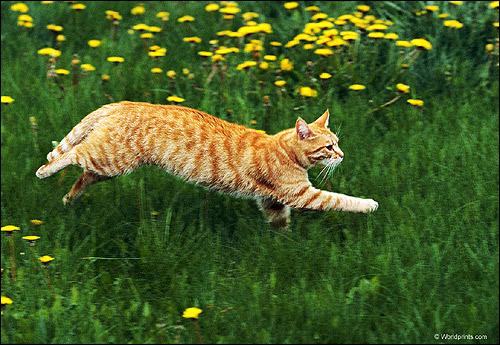 Рыже-белая кошка (кот) бежит по зеленой траве. Фото, фотография картинка животные