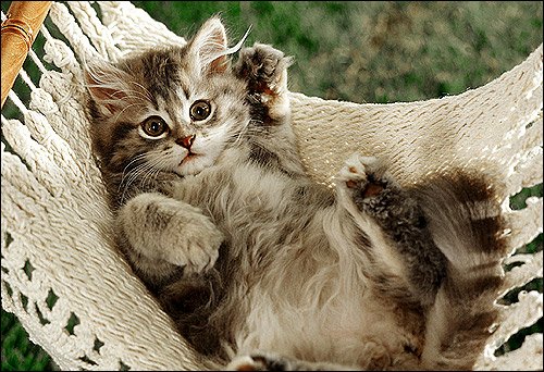 Котенок в гамаке. Фото, фотография картинка кошки