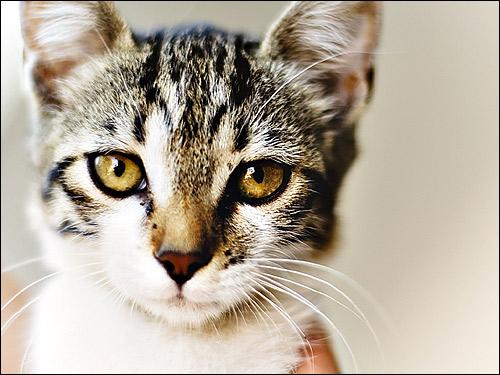 Кошка, крупный план морды. Фото, фотография картинка животные