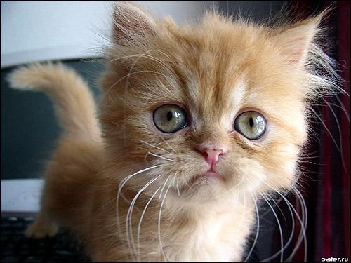 Рыжий персидский котенок с зелеными глазками. Фото, фотография картинка