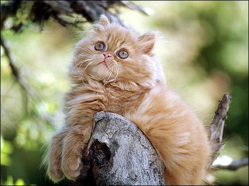 Рыжий персидский котенок с длинными белыми усами (вибриссами). Фото, фотография картинка кошки