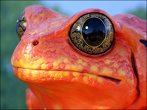 Лягушка помидор, узкорот томатный (Dyscophus guineti). Фото, фотография