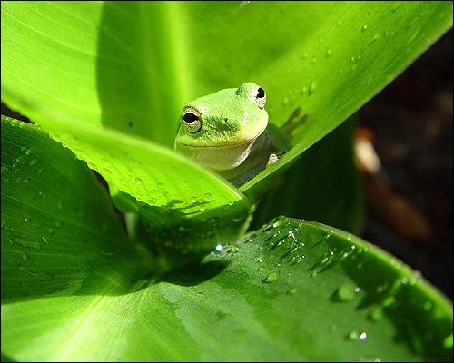 Зеленая квакша (лягушка) на листке с росой. Фото, фотография земноводные