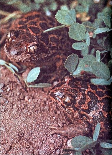 Сирийская  чесночница (Pelobates syriacus). Фото, фотография амфибии картинка
