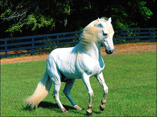Пасо фино, порода лошадей. Фото, фотография картинка