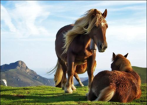 Пони на альпийских лугах. Фото, фотография картинка