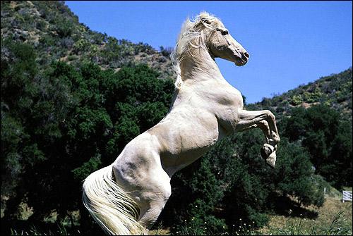 Белая лошадь, вставшая на дыбы. Фото, фотография картинка