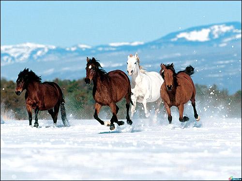 Лошади бегущие по снегу. Фото, фотография картинка