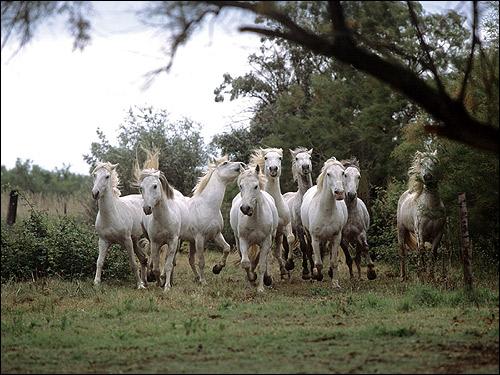 Бегущие белые лошади. Фото, фотография картинка