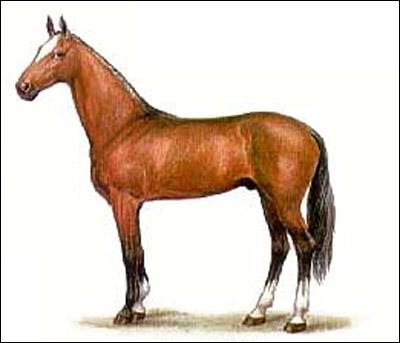Ахалтекинская лошадь. Рисунок, картинка породы лошадей