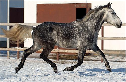 Орловская рысистая лошадь, орловский рысак. Фото, фотография картинка, породы лошадей