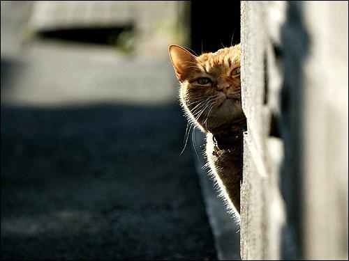 Кот выглядывает из-за угла. Фото, фотография картинка животные