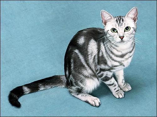 Британская кошка окраса вискас. Фото, фотография картинка