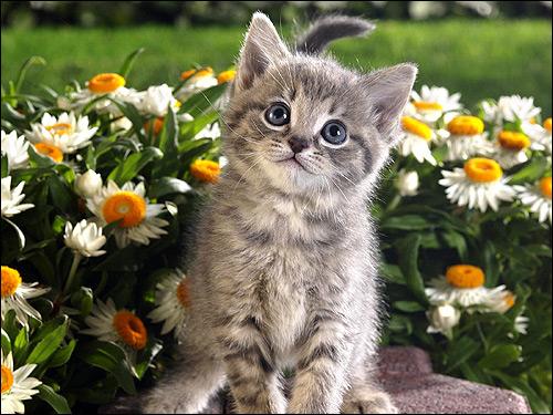 Котенок среди цветов. Фото, фотография картинка