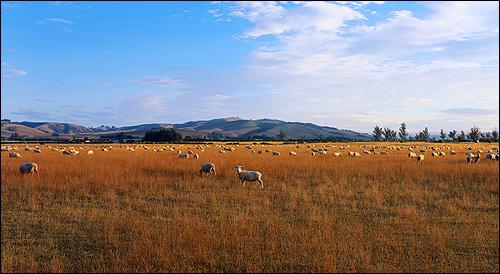 Поле с пожухлой травой, на которой пасуться овцы. Фото, фотография природа