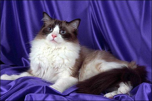 Рэгдолл, породы кошек. Фото, фотография картинка