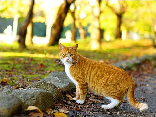 Европейская короткошерстная кошка на улице. Фото, фотография картинка