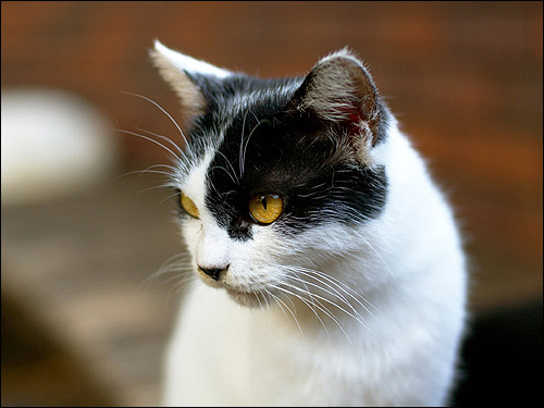 Голова кошки. Фото, фотография картинка
