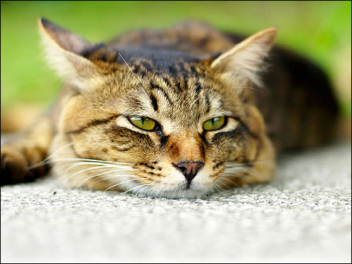 Лежащая на полу кошка. Фото, фотография картинка