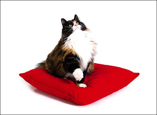 Персидская кошка. Фото, фотография картинка животные