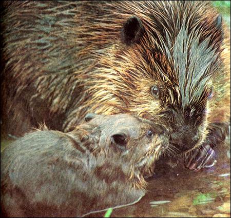 Бобер с детенышем. Фото, фотография картинка грызуны