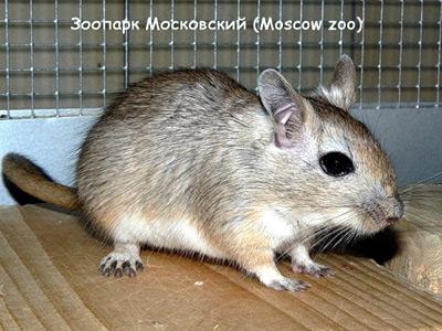 Песчанка Виноградова (Meriones vinogradovi). Фото, фотография картинка грызуны
