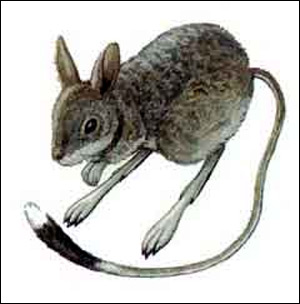 Тушканчик-прыгун (Allactaga saltator). Рисунок, картинка грызуны