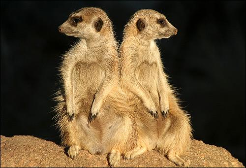Сурикаты. Фото, фотография картинка грызуны