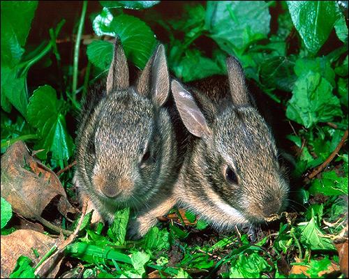 Карликовые кролики. Фото, фотография картинка