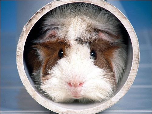 Морская свинка. Фото, фотография картинка грызуны