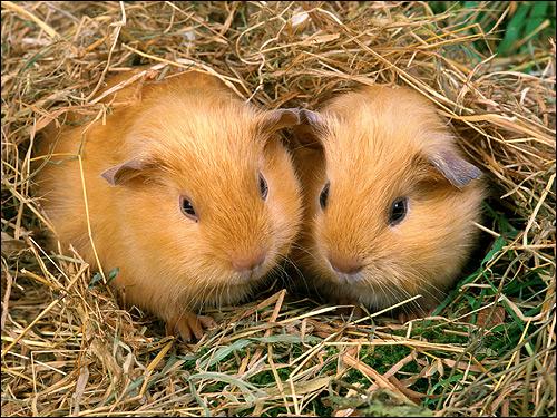 Морские свинки. Фото, фотография картинка грызуны