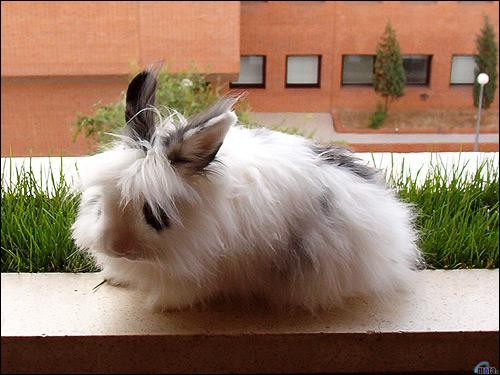 Ангорский кролик. Фото, фотография картинка