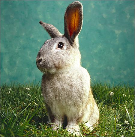 Серый кролик. Фото, фотография картинка животные