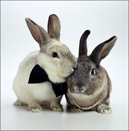 Два серых кролика. Фото, фотография картинка животные